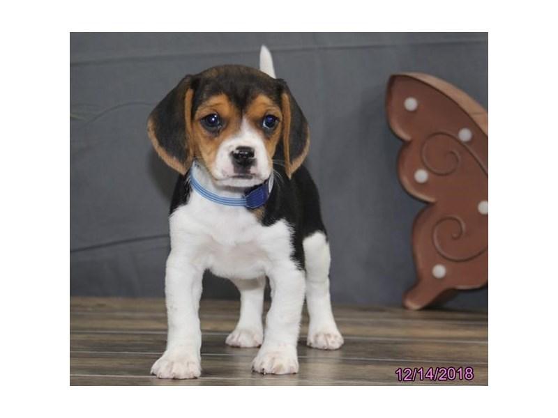 Beagle-Male-Black Tan / White-2239494-Petland Carriage Place