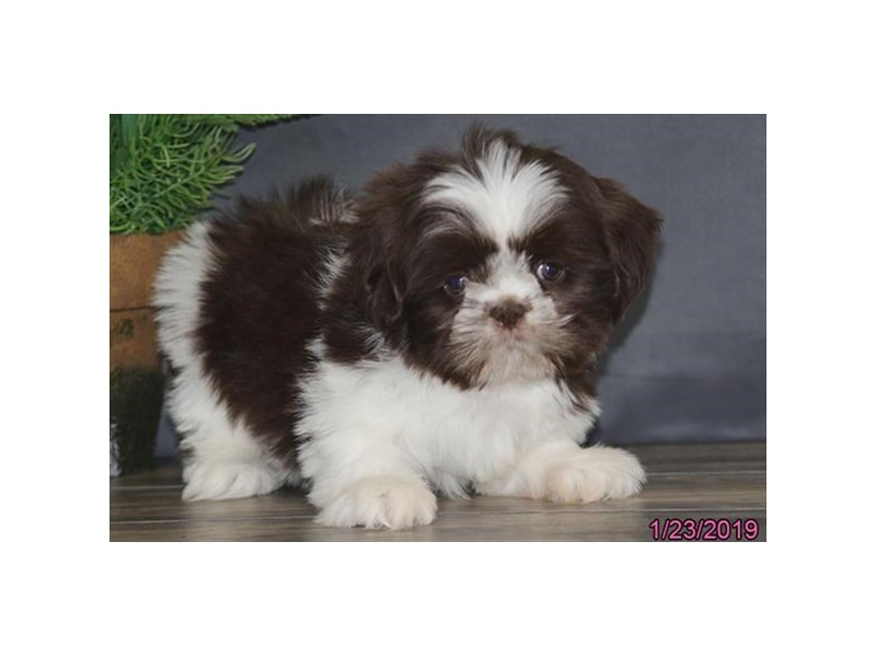 Shih Tzu Puppies Ohio Petland Carriage Place