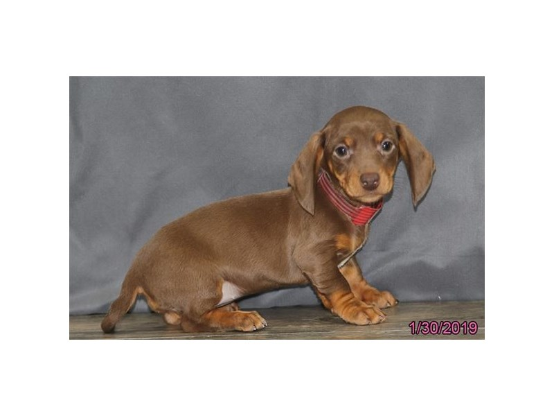 Come To Visit Our Dachshund Puppies For Sale Near Hilliard Ohio