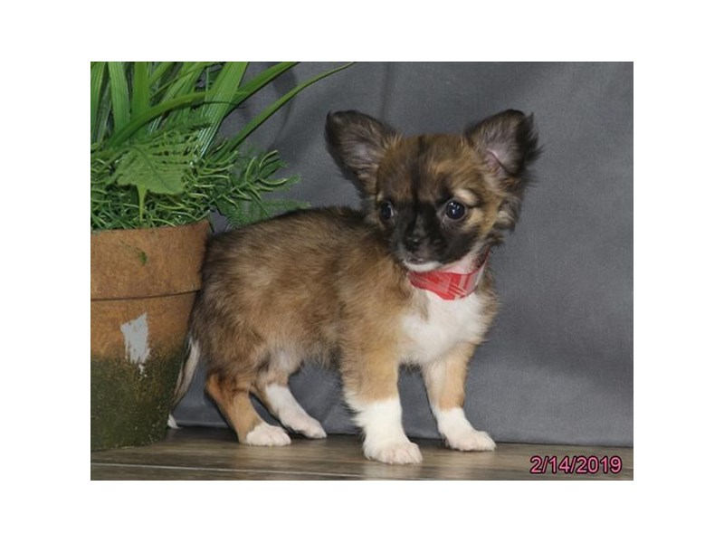 Come To Visit Our Chihuahua Puppies For Sale Near Hilliard Ohio
