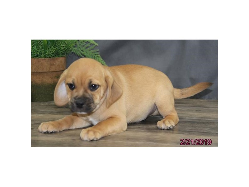 Puggle-Male-Fawn-2291739-Petland Carriage Place