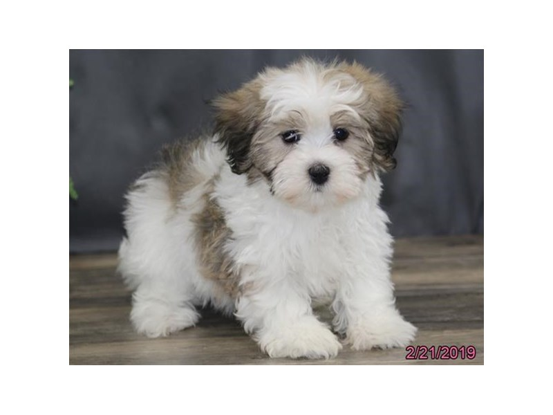 Havanese Puppies Petland Carriage Place