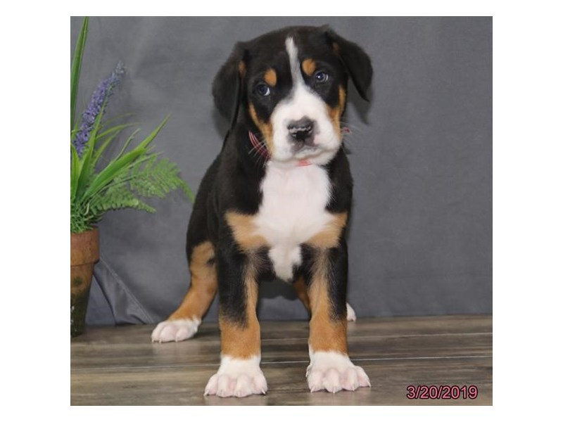 Greater Swiss Mountain Dog-Male-Black, White / Red-2314233-Petland Carriage Place