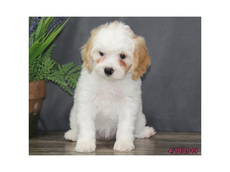 Cavapoo-DOG-Female-Blenheim-2335308-Petland Carriage Place