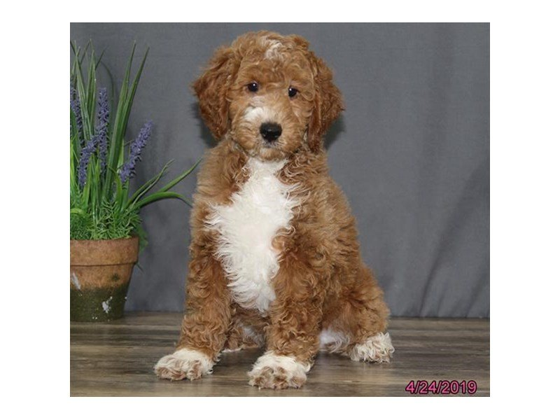 Goldendoodle 2nd Gen-Male-Red-2340237-Petland Carriage Place