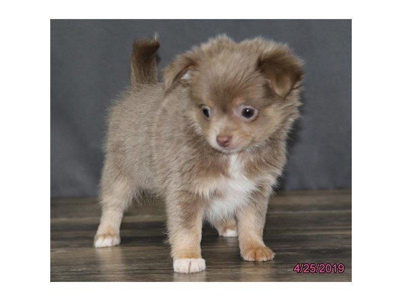 Chihuahua Dog Female Blue Fawn 2340241