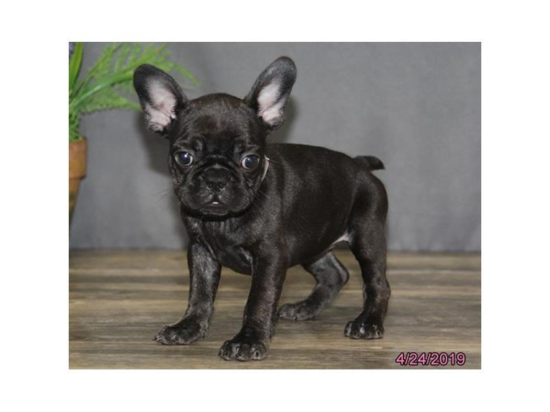 French Bulldog Dog Female Black Brindle 2340447 Petland Carriage Place