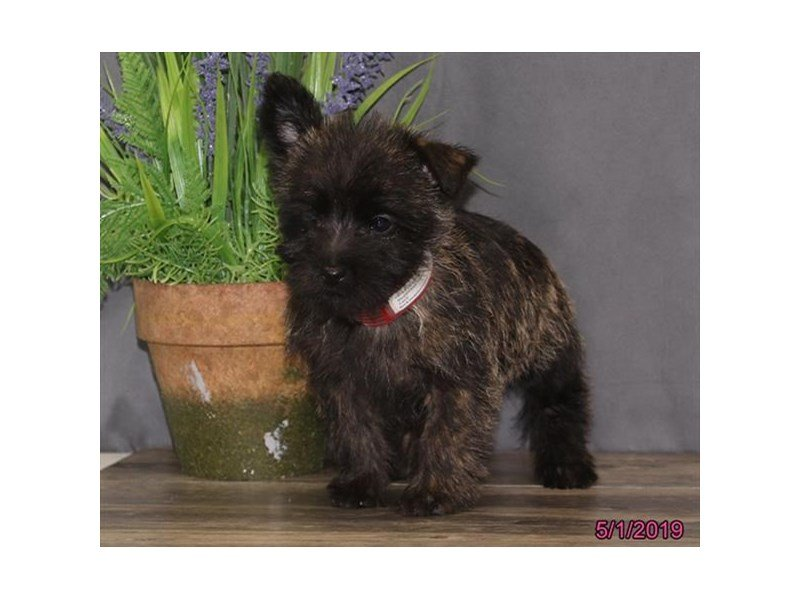 Cairn Terrier Puppies - Petland Carriage Place