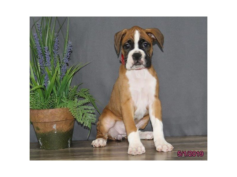 Boxer-Female-Fawn / White-2346262-Petland Carriage Place