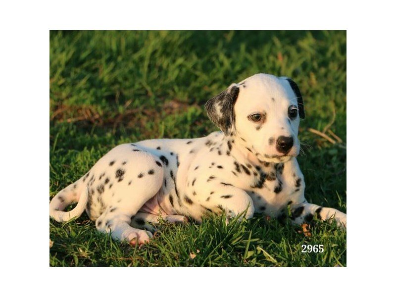Dalmatian-Male-Black / White-2346264-Petland Carriage Place