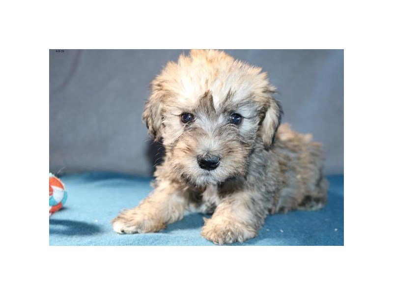 Schnoodle-Female-Sable-2335307-Petland Carriage Place