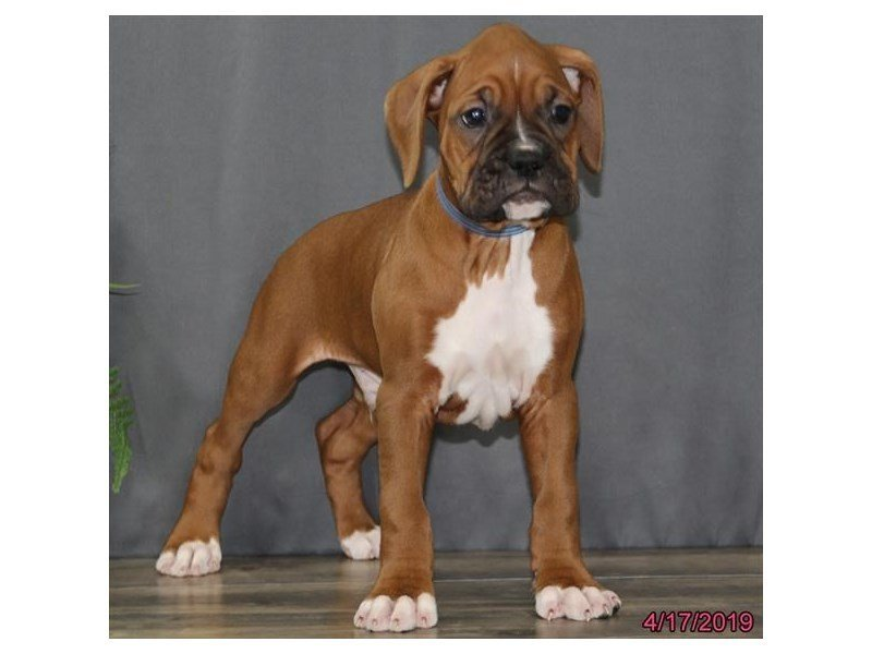 Boxer-Male-Fawn / White-2335316-Petland Carriage Place