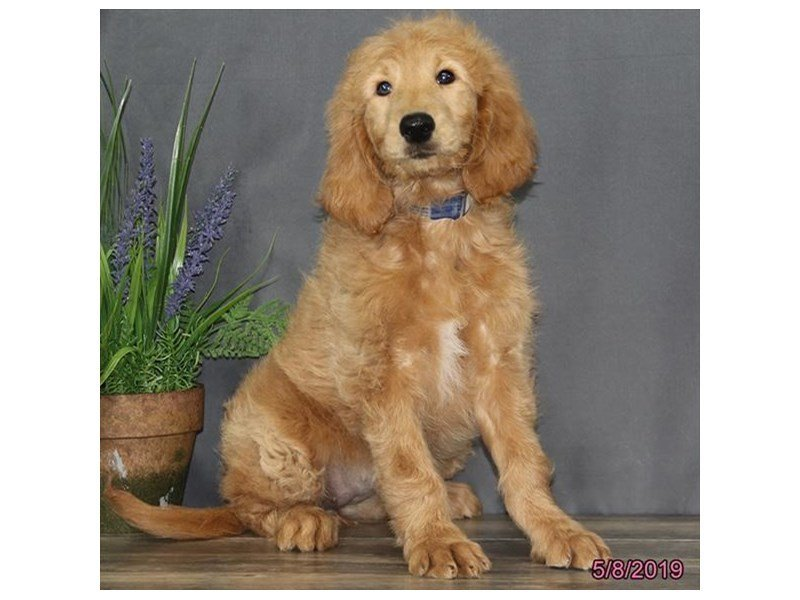 Goldendoodle-Female-Apricot-2351533-Petland Carriage Place