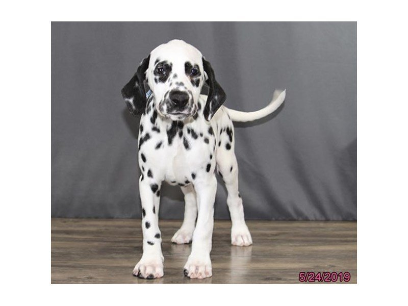 Dalmatian-Female-White / Black-2362127-Petland Carriage Place