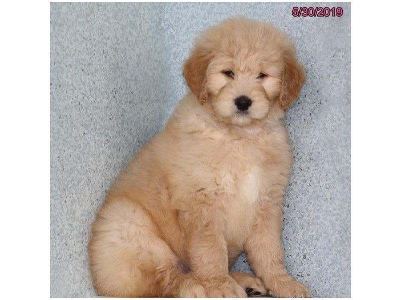 Goldendoodle 2nd Gen-Male-Cream-2367303-Petland Carriage Place