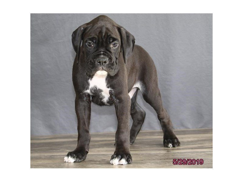 Boxer-Male-Black/ White-2367324-Petland Carriage Place