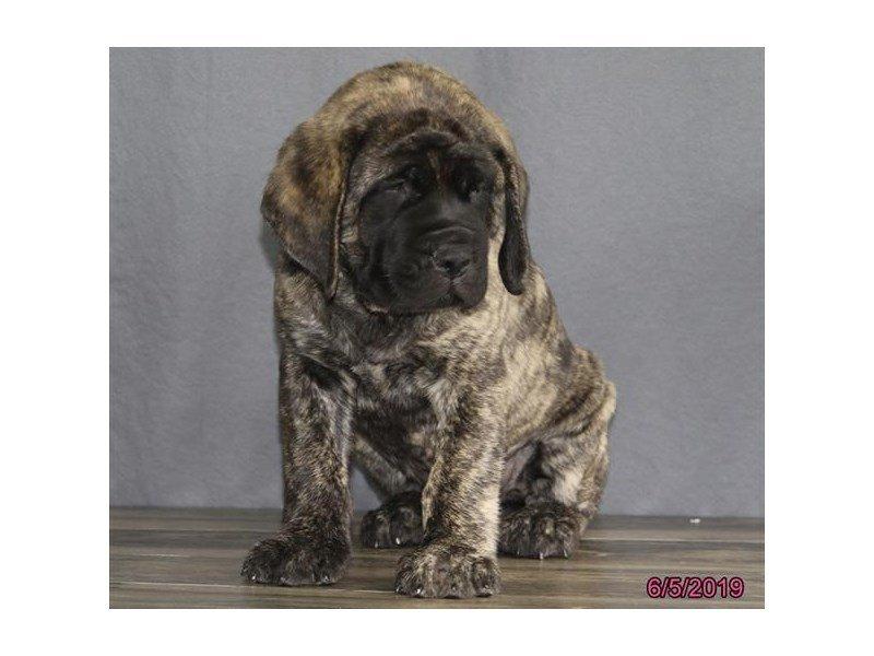 English Mastiff-Male-Brindle-2373524-Petland Carriage Place