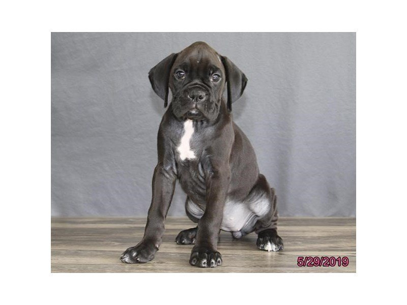 Boxer-Female-Black / Brindle-2373548-Petland Carriage Place