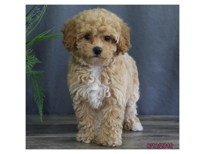 Bichon Poo-Female-Apricot-2379025-Petland Carriage Place
