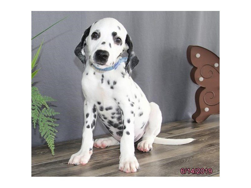 Dalmatian-Male-White / Black-2379031-Petland Carriage Place