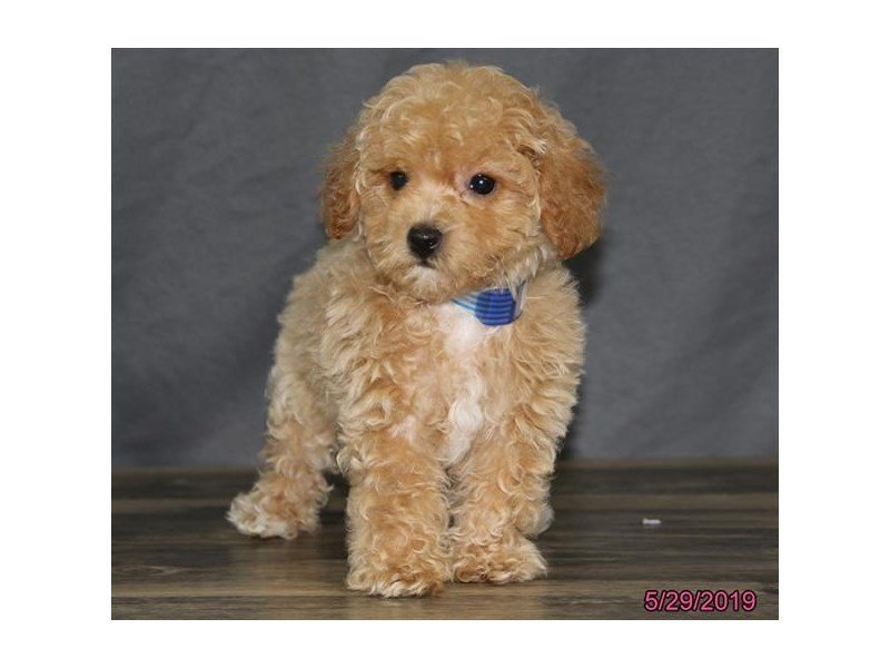 Bichon Poo-Female-Apricot-2367321-Petland Carriage Place