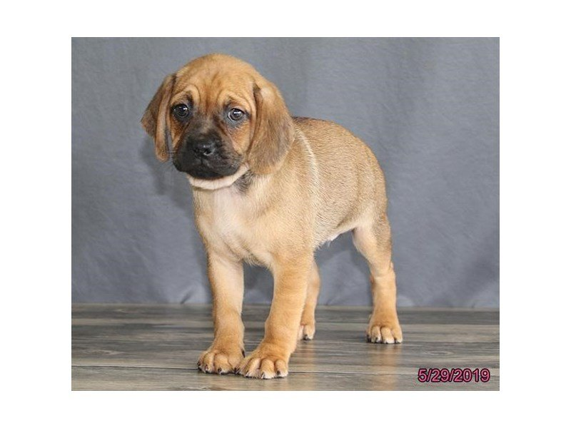 Puggle-DOG-Female-Fawn/ Blk msk-2373536-Petland Carriage Place