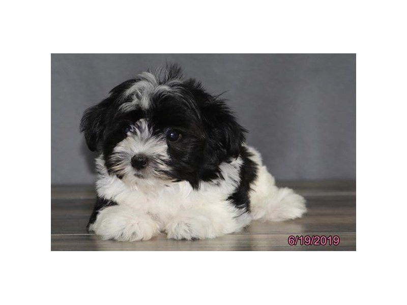 Havanese Puppies - Petland Carriage Place