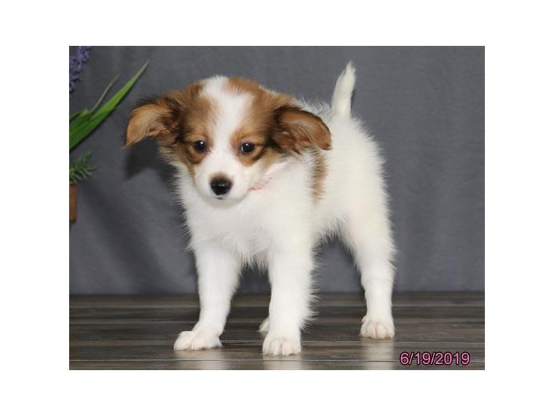 Papillon-Female-Red/ White-2385213-Petland Carriage Place