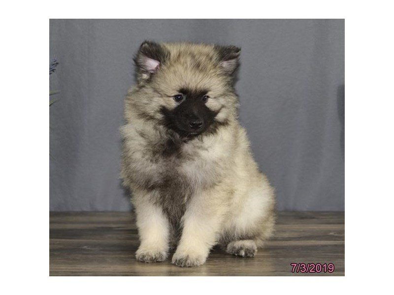 Keeshond-Male-Gray Cream / Black-2396731-Petland Carriage Place