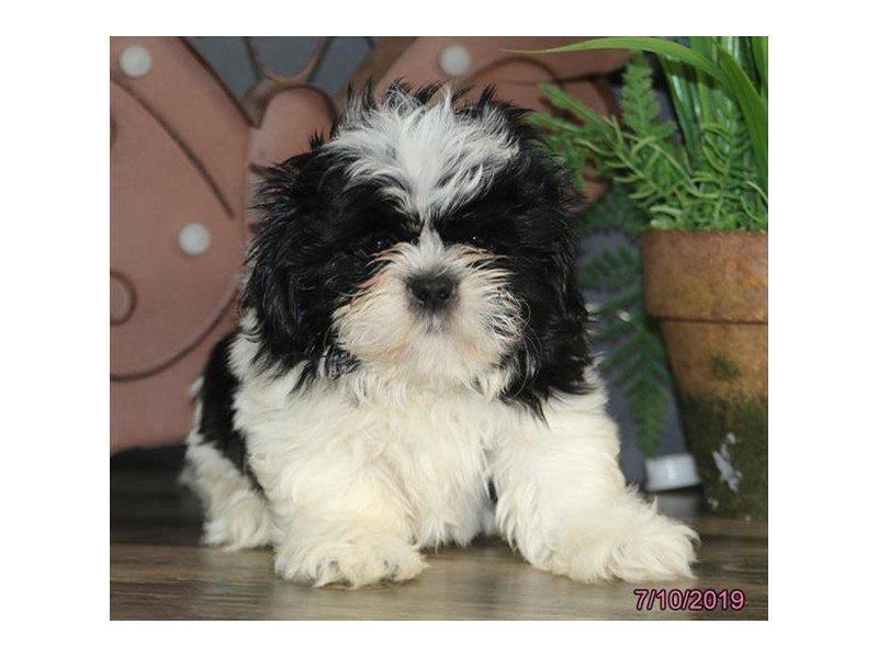 Shih Tzu-DOG-Male-Black / White-2402876-Petland Carriage Place