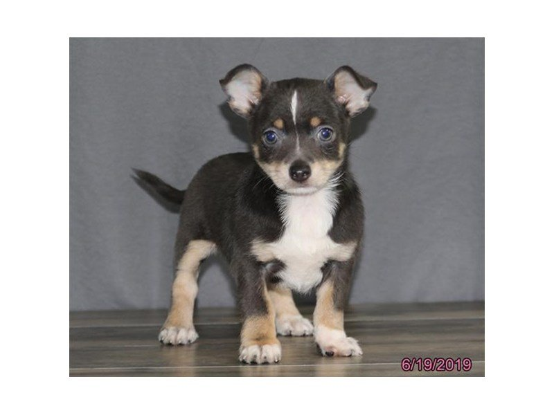 Chihuahua Puppies - Petland Carriage Place