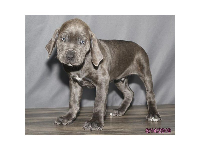 Cane Corso-Male-Blue Brindle-2433551-Petland Carriage Place
