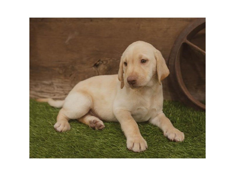 Labrador Retriever Puppies - Petland Carriage Place