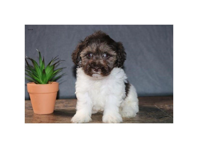 Schnoodle-Female-Chocolate / White-2396717-Petland Carriage Place