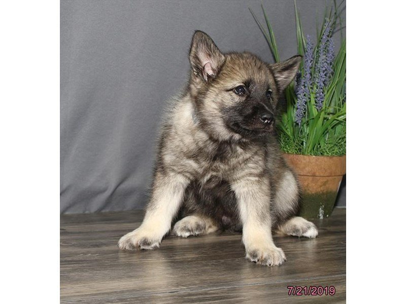 Norwegian Elkhound-Male-Black / Silver-2421418-Petland Carriage Place