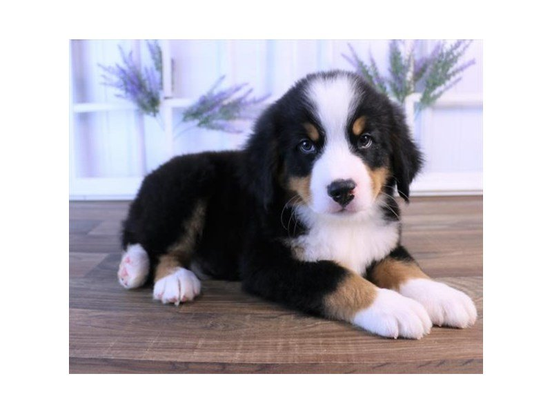 Bernese Mountain Dog Puppies Petland Carriage Place
