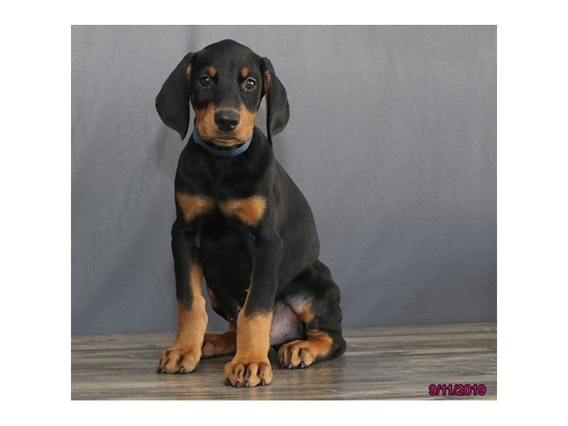 Doberman Pinscher Dog Male Black Rust 2458150 Petland Carriage Place