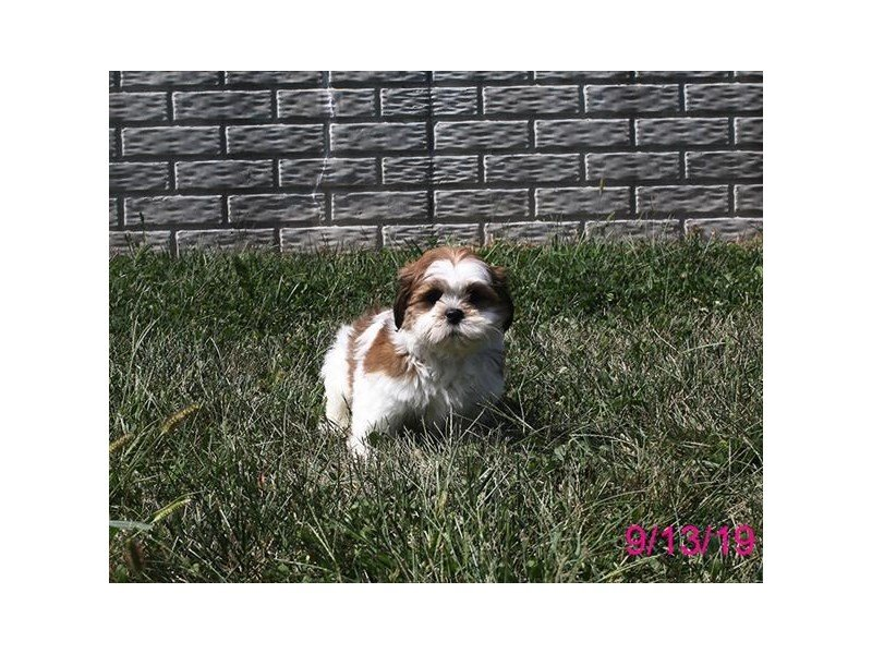 Lhasa Apso-Male-Red / White-2458152-Petland Carriage Place