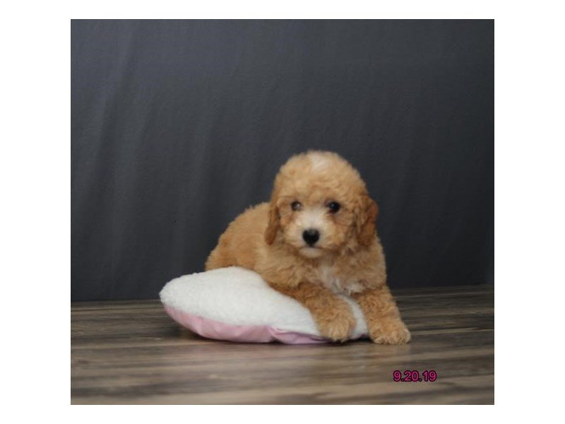 Bichon Poo-Male-Apricot-2463894-Petland Carriage Place