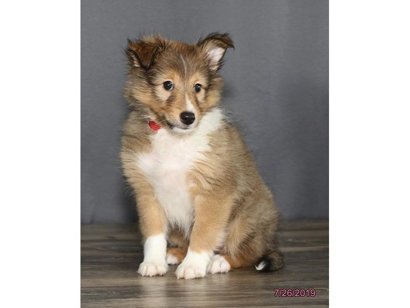 Shetland Sheepdog-Female-Sable / White-2415124-Petland Carriage Place