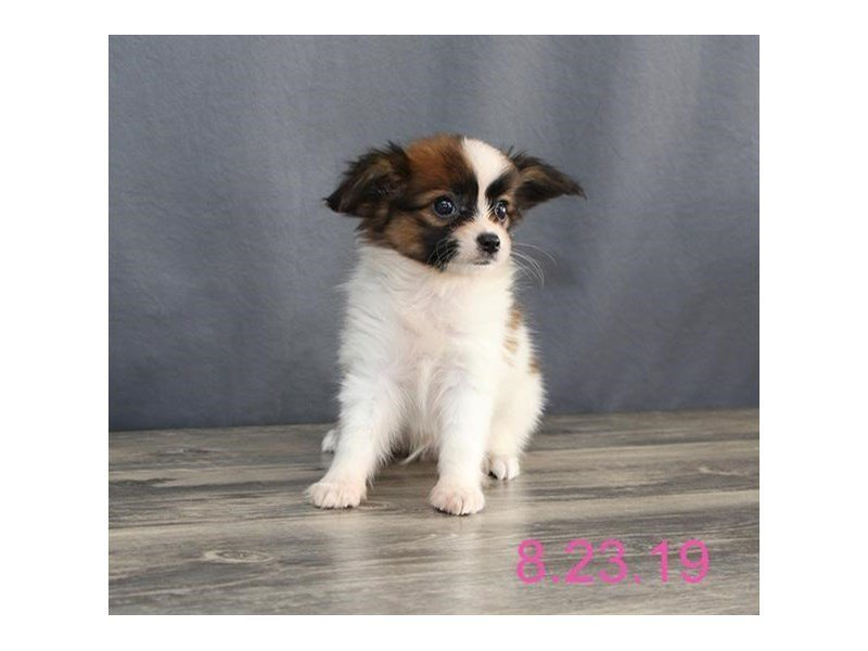 Papillon-Male-Brown / White-2439342-Petland Carriage Place