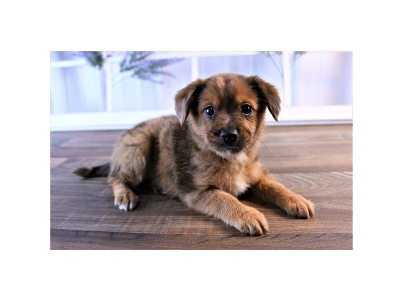 Chiweenie-Male-Red-2470231-Petland Carriage Place