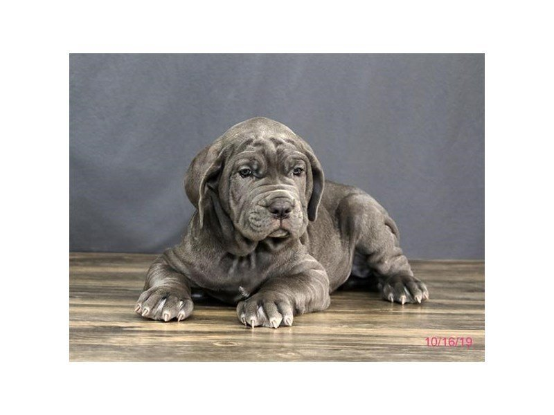 Neapolitan Mastiff-Male-Blue-2503402-Petland Carriage Place