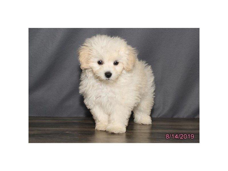 Maltese/Poodle-Male-Cream-2439822-Petland Carriage Place
