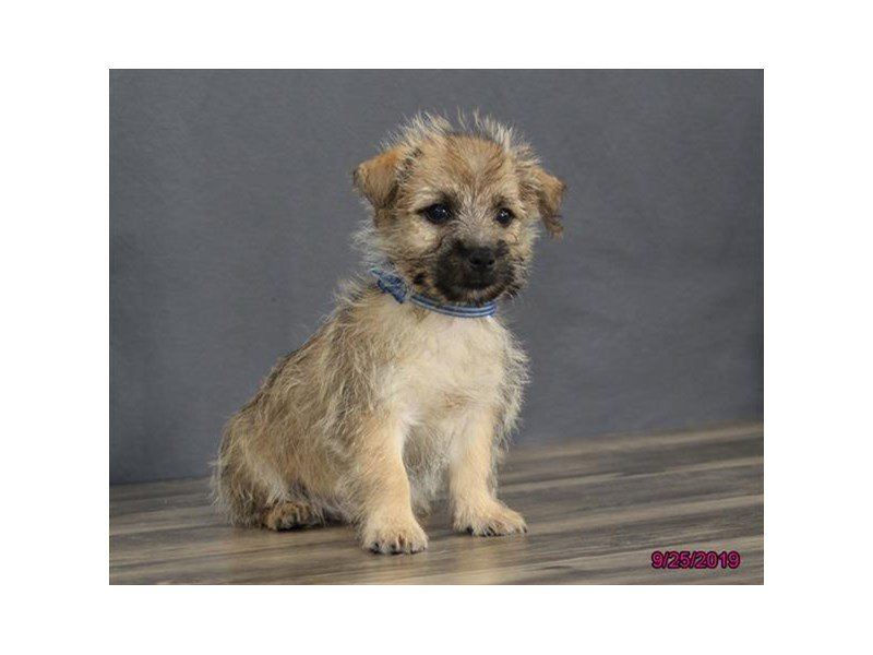 Cairn Terrier-Male-Wheaten-2470240-Petland Carriage Place