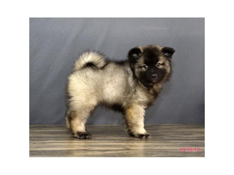 Keeshond-Male-Black / Silver-2503407-Petland Carriage Place
