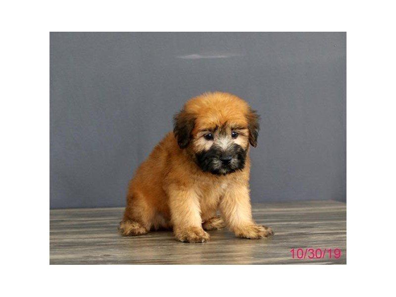 Soft Coated Wheaten Terrier-Male-Wheaten-2516597-Petland Carriage Place