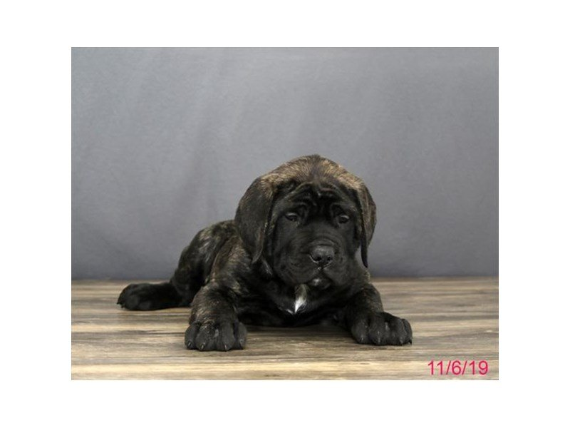 Mastiff-Male-Brindle-2523299-Petland Carriage Place