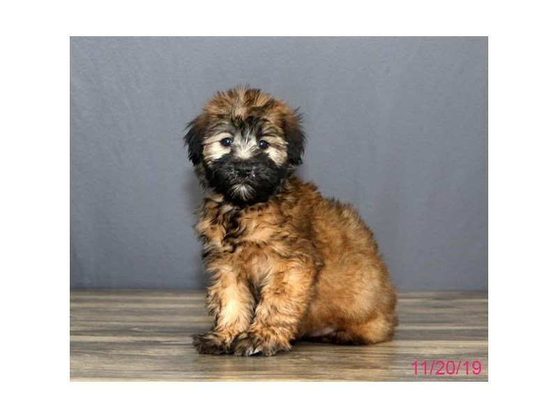 Soft Coated Wheaten Terrier Petland Carriage Place