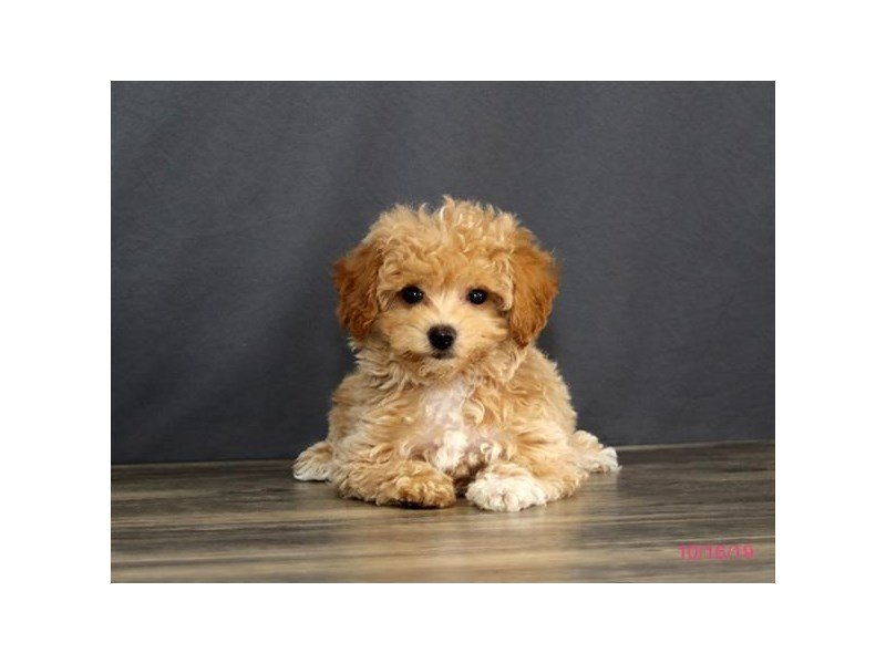 Bichon Poo-Male-Apricot-2503400-Petland Carriage Place